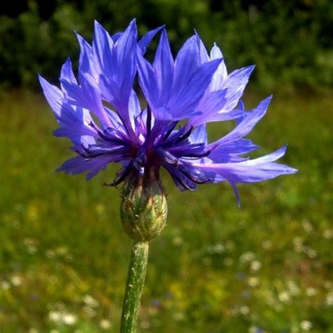 fiore fiordaliso fiordaliso cyanus segetum semente vendita piante