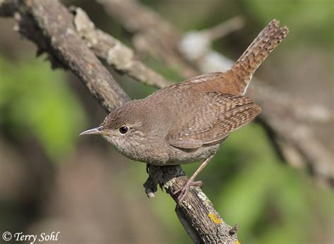 house wren house wren photo photograph picture