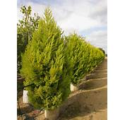 Buy Golden Monterey Cypress Trees  Cupressus Macrocarpa Goldcrest