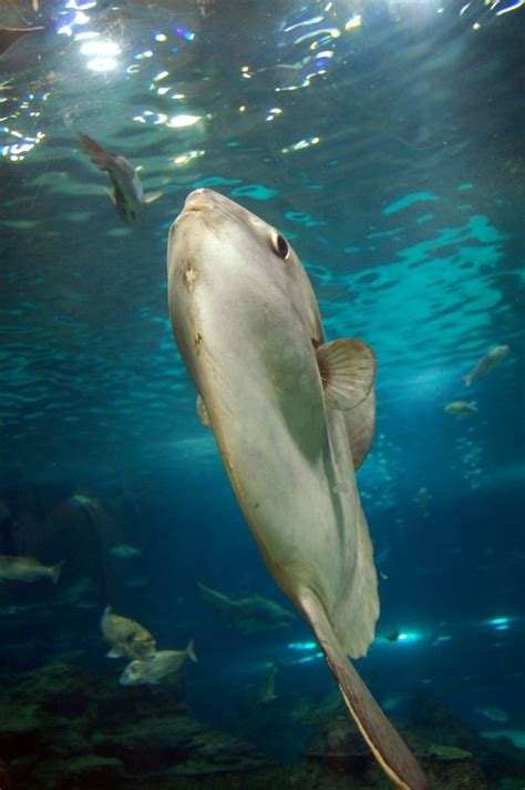 Swimming Fish L by Grey Fish Swimming To The Top Alegri Free Photos Highres