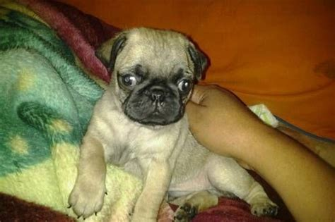 baby pugs for adoption wonderful baby pugs 8 weeks 420 for sale adoption from northern territory darwin metro