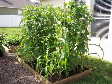 growing corn in raised beds pin by tiffany deboer on gardening pinterest