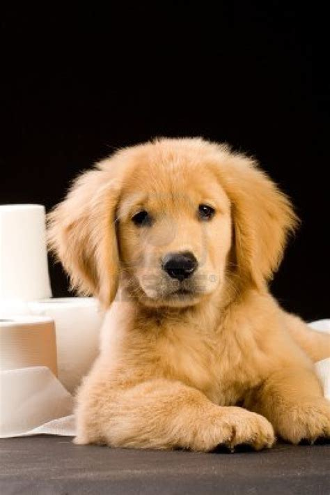 golden retriever dog house fluffy golden retriever puppies quotes