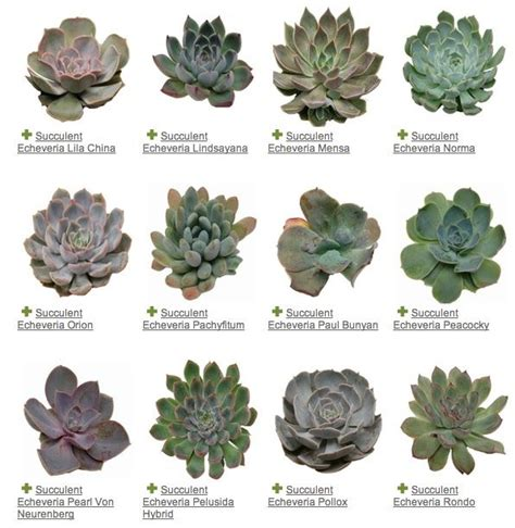 25 best ideas about identifying succulents on pinterest