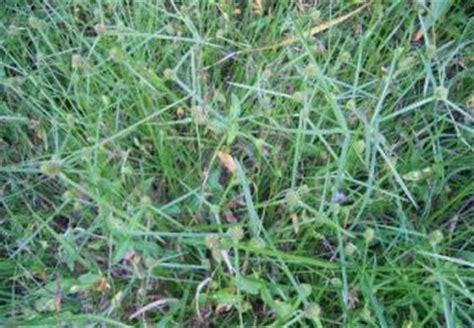 mullumbimby couch factsheet cyperus brevifolius