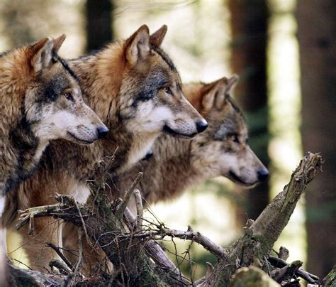Wolf Pack Photo a beautiful photo of a wolf pack