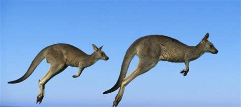 Kangaroos Running Original 02 hoppy new year mgb gt forum mg experience forums