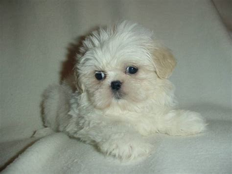 all white shih tzu wallpapers west highland terrier white shih tzu all puppies pictures and 800x600
