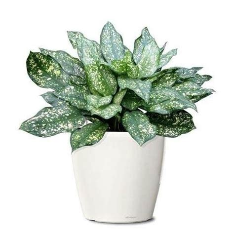 decorative plants for home decorative ornamental plants at rs 250 piece सज वट