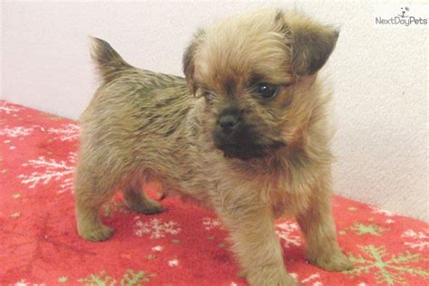brussels griffon puppies for sale brussels griffon puppy for sale near dallas fort worth b0e27805 05d1