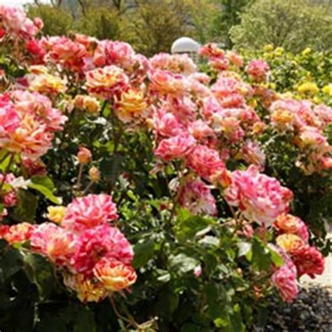 unusually colored rose plants george burns floribunda rose