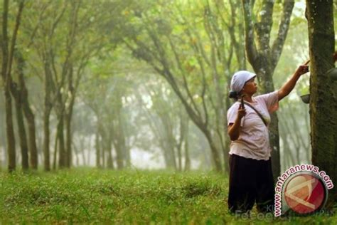 Karet Terkini Perkebunan Karet Kaltim Tersebar Di 12 Kabupaten Kota
