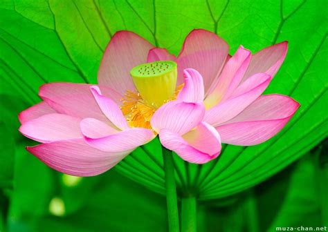 flowers lotus and on lotus water