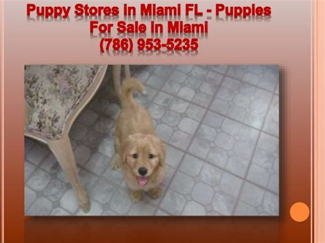 puppy stores in miami puppies for sale in miami puppies for sale in miami 786 953 5235