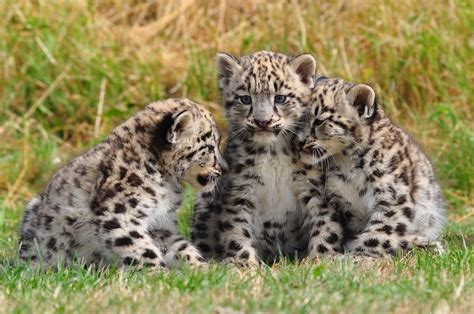 imagenes del jaguar con sus crias fotos de animales cachorros