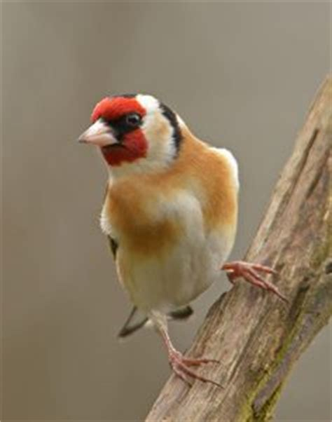 1000 images about goldfinch on pinterest thistle seed