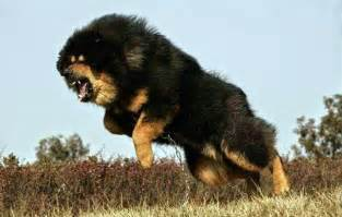 Dogs big dog breeds types of big dogs pictures of big dogs dog
