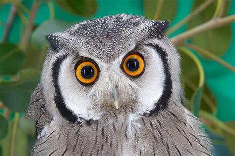 Bee And Vee Big 7 Owl of owl