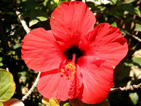 images flowers flower pictures page hibiscus from crete