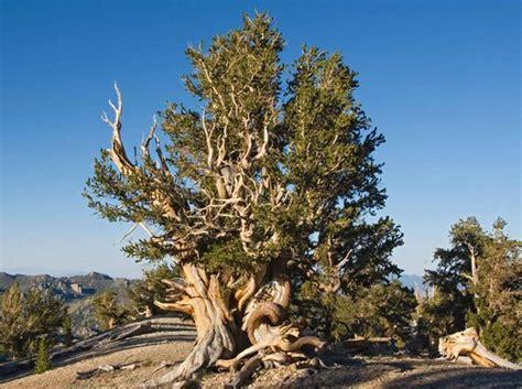 bristlecone pine tree california mystic bristlecone pine pine and pine tree on