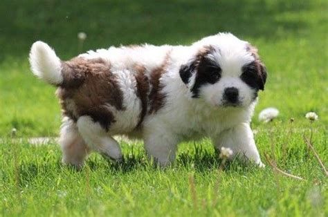 bernard puppies for sale in california st bernard puppies for sale wittmann az 204339 petzlover