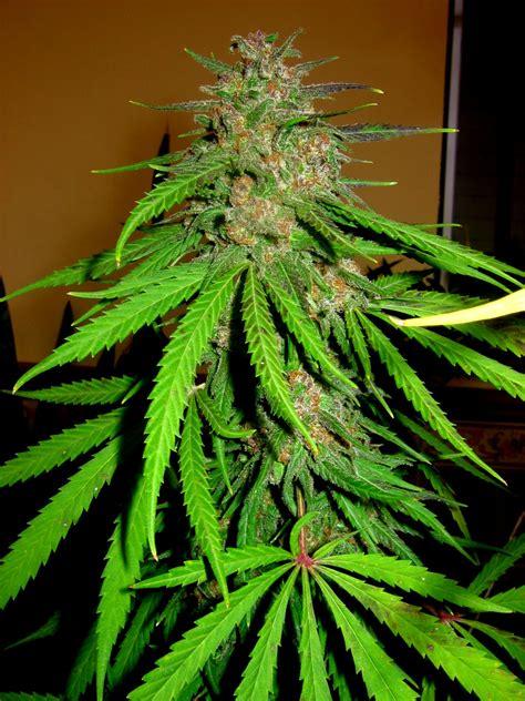 lade cannabis infos 252 ber den unbekannten oder legend 228 ren quot swazi