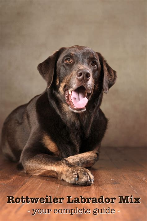 labrador rottweiler mix rottweiler lab mix your complete guide to the labrottie