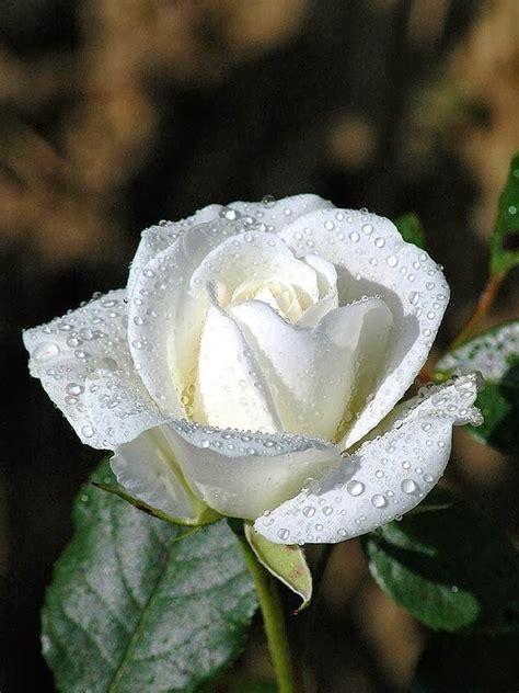 kumpulan gambar bunga mawar putih  cantik indah