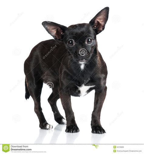 Small Black Adorable Black Stock Image Image Of Breed