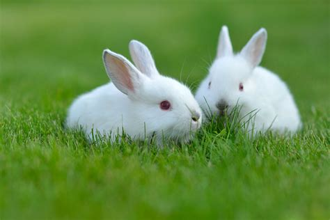 White Rabbit White Rabbit Hd Wallpapers For Desktop Animals Hd