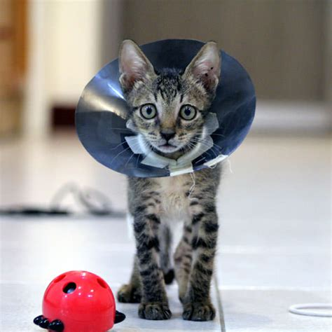 what age to neuter a is there a right age to neuter a kitten catster