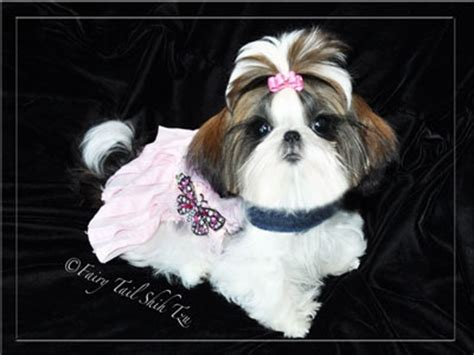 fairytale shih tzu pin by poochie palace on tails