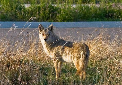 farm versus wile e coyote