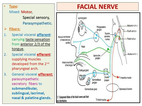 sensory motor and mixed nerves nerve supply of the 5th 7th cranial nerves ppt