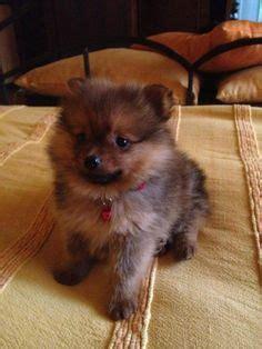shipom puppies shi pom puppy my lulu puppys