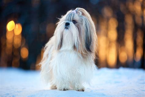 shih tzu coats how to groom your s coat general hygiene dogs guide omlet uk