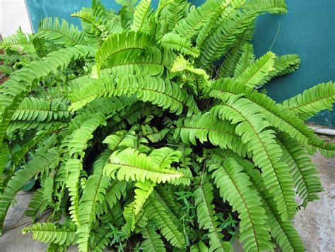 macam macam induktor dan gambarnya macam macam tanaman tumbuhan paku pakuan dan gambarnya