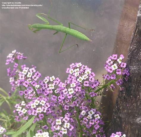 Bibit Benih Seeds Bunga Pink Sweet Alyssum alyssum royal carpet dave s garden floor matttroy