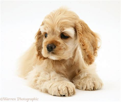 American Cocker Spaniel Breed Guide - Learn about the ...