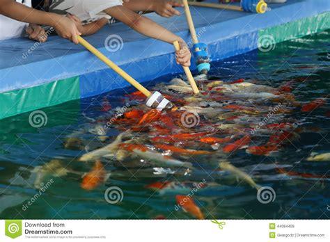 Milk Desk Has Fish Swimming In It by Feeding Koi Fish With Milk Bottle Stock Photo