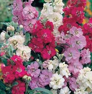 Vitrase Putih Transparan Bunga Lebar 200 Cm Tinggi 180 Cm benih stock brompton mixed 15 biji non retail