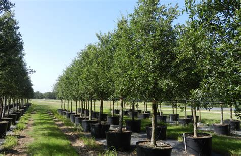 live tree sales live oak trees for sale in dallas fannin tree farm