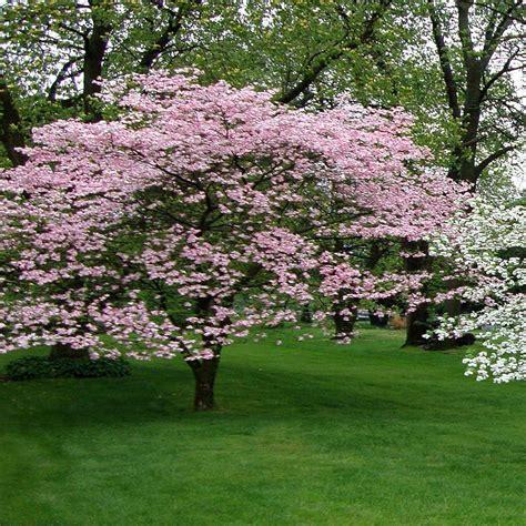 onlineplantcenter 5 gal 4 ft pink flowering dogwood tree c3876g5 the home depot