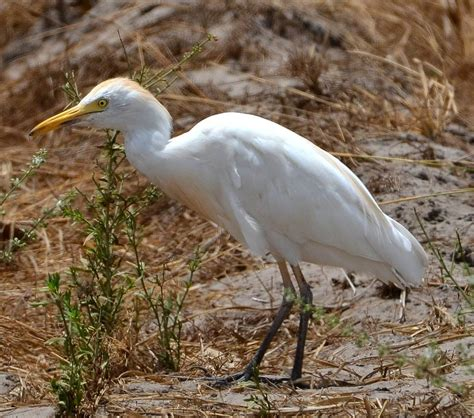cattle egrets in the breeding season nature