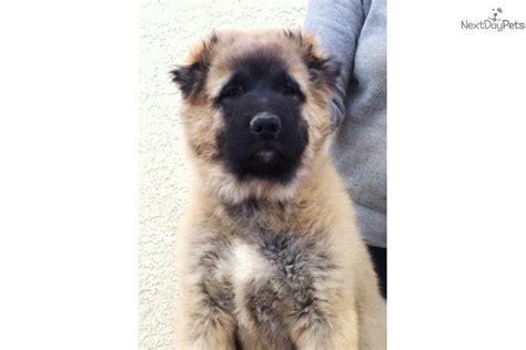 caucasian mountain puppy russian caucasian mountain