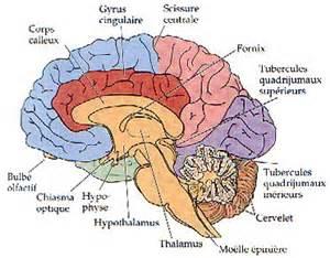voyage dans le cerveau cytologie et anatomie