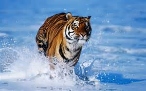 photo de couverture sublime clich 233 d un tigre qui court