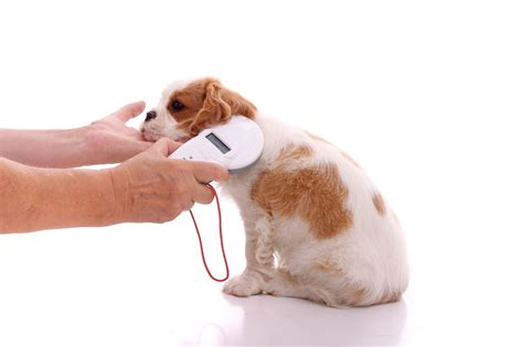 what is a microchip for dogs microchipping dogs the working parent