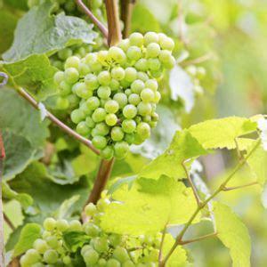 comment tailler une treille de raisin vigne culture entretien et r 233 colte du raisin