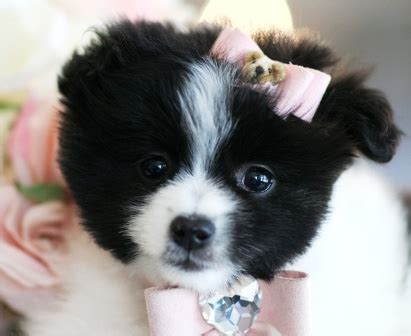 micro pomeranian for sale philippines the 25 best teacup pomeranian puppy ideas on teacup animals pomeranian